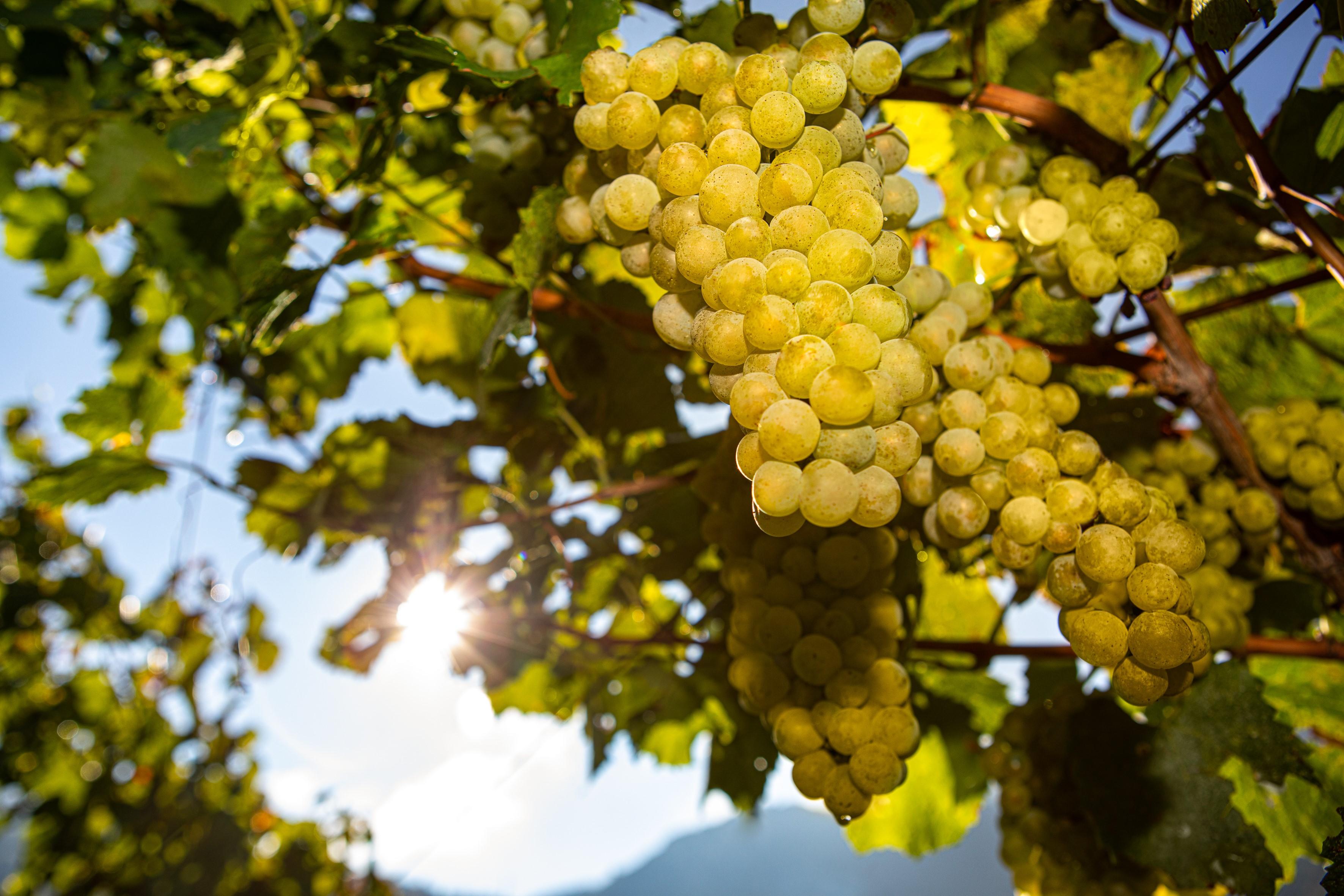 Tenuta Margon begins its 2020 harvest